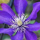 Clematis by MissyD