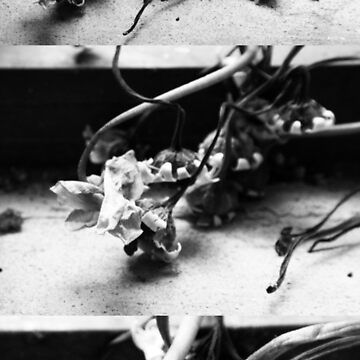 Dried Flower (Black And White) by fhjr2002