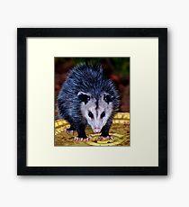 Backyard Opossum Framed Print