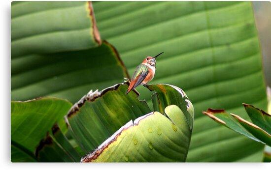 Giant Bird of Paradise for a Tiny Hummingbird by DARRIN ALDRIDGE