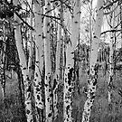Tall Aspens by Gary Lengyel