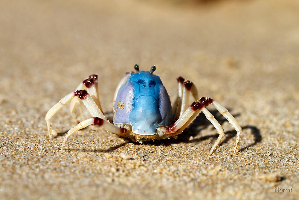 Quot Soldier Crabs Mictyris Longicarpus With Angry Face