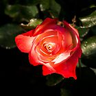 Living Coral Coloured Rose with a Blush of Red by Georgia Mizuleva