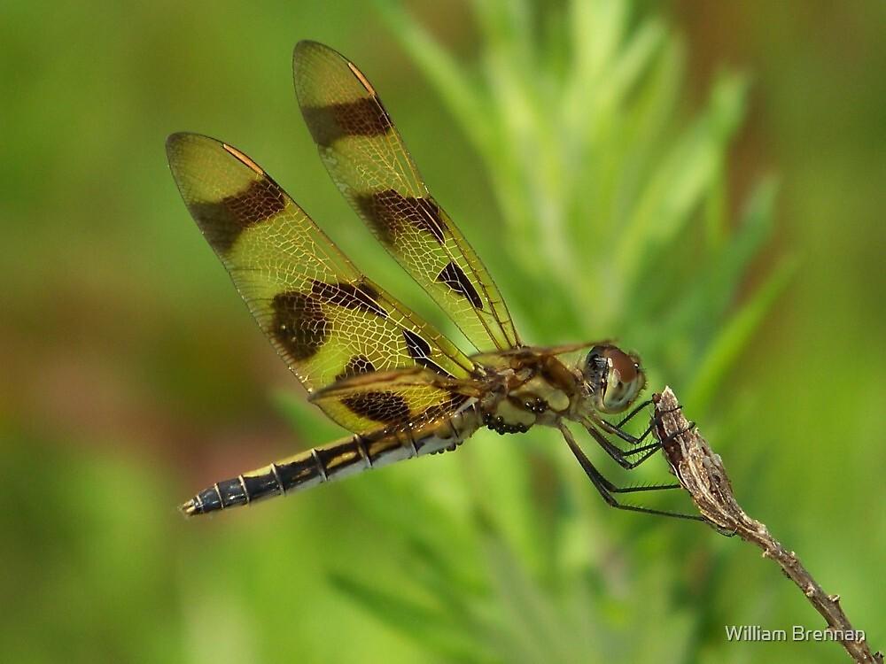 A Halloween Pennant Dragonfly. by William Brennan