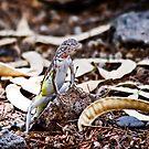 Zebra Tailed Lizard by Daniel J. McCauley IV