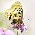 Apollo Butterfly and Nature and Wildlife Original photographic design by VIDDAtees