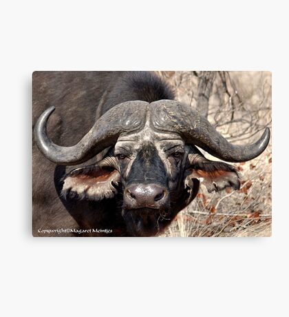 """IN PORTRAIT"" of the older BUFFALO - *Syncerus caffer* Canvas Print"