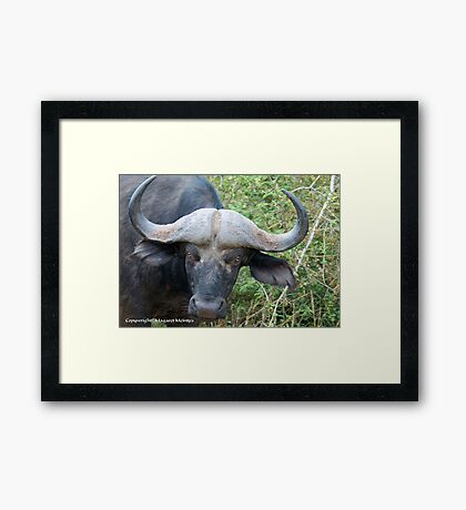 """THE """"COLD STARE"""" of the BUFFALO - *Syncerus caffer* Framed Print"""