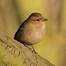 Chaffinch by dilouise