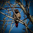 Northern Flicker by Len Bomba
