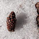 Ponderosa Pine Cone and Bark by Jared Manninen