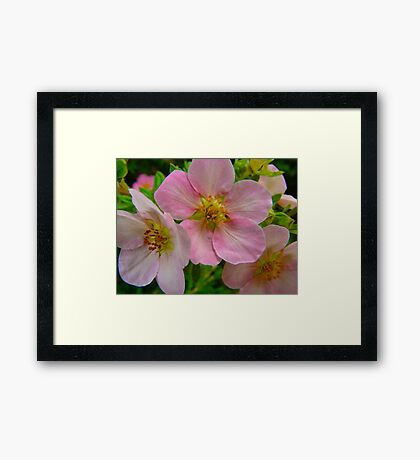 Apple Blossom Delight Framed Print