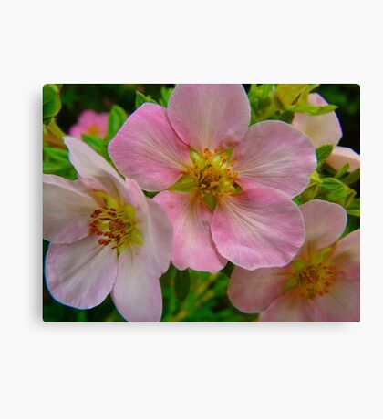 Apple Blossom Delight Canvas Print