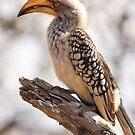 Yellow Billed Hornbill by Jo McGowan