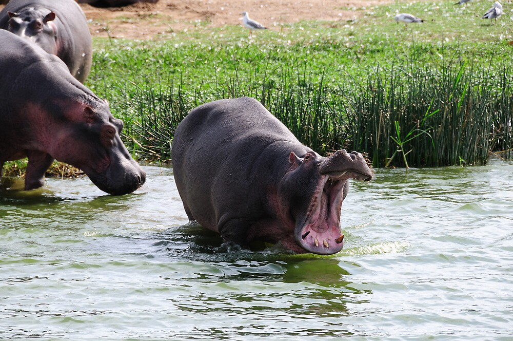 Big Yawn - Kazinga Channel, Uganda by Derek McMorrine