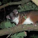Ring-tailed Possum hopes for a treat by BronReid