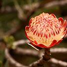 Protea by kgb224