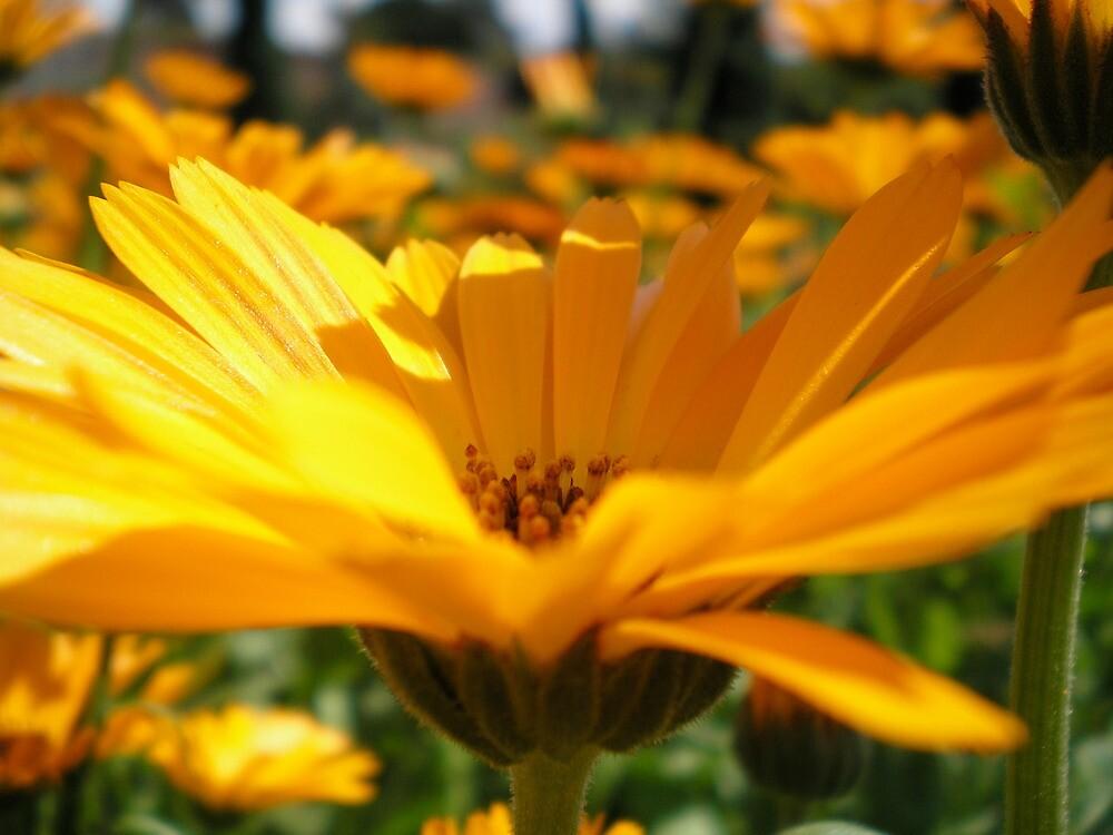 sunshine yellow by blue-metro