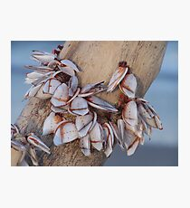 Goose Barnacles On Driftwood Photographic Print