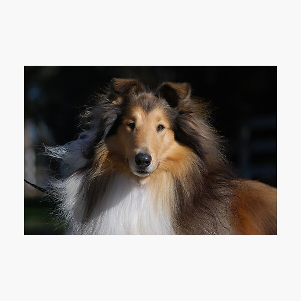 Majestic Collie Photographic Print