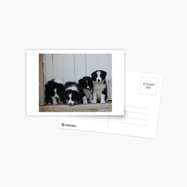 Border Collie puppies Postcard