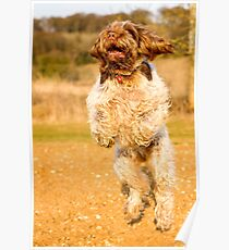 Brown Roan Italian Spinone Dog Leaping Poster