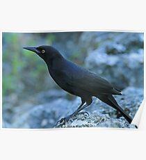 New World Blackbird Poster