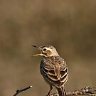 Paddy Field Pipit - Calling by Ahiraj Bhat