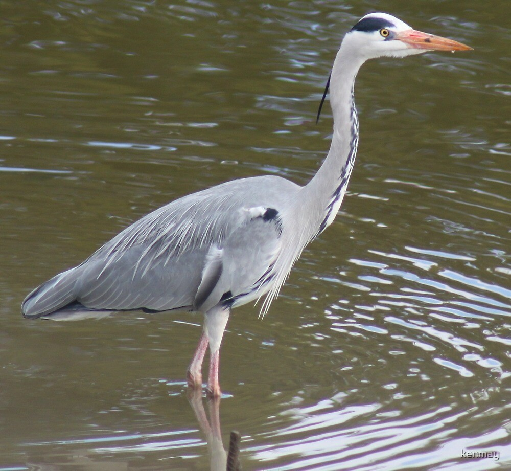 Gray Heron. by kenmay