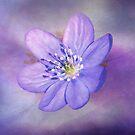 Blue-Lilac Anemone by TerryIKON