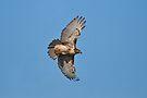 1st Year Eastern RedTail Hawk by Lynda   McDonald