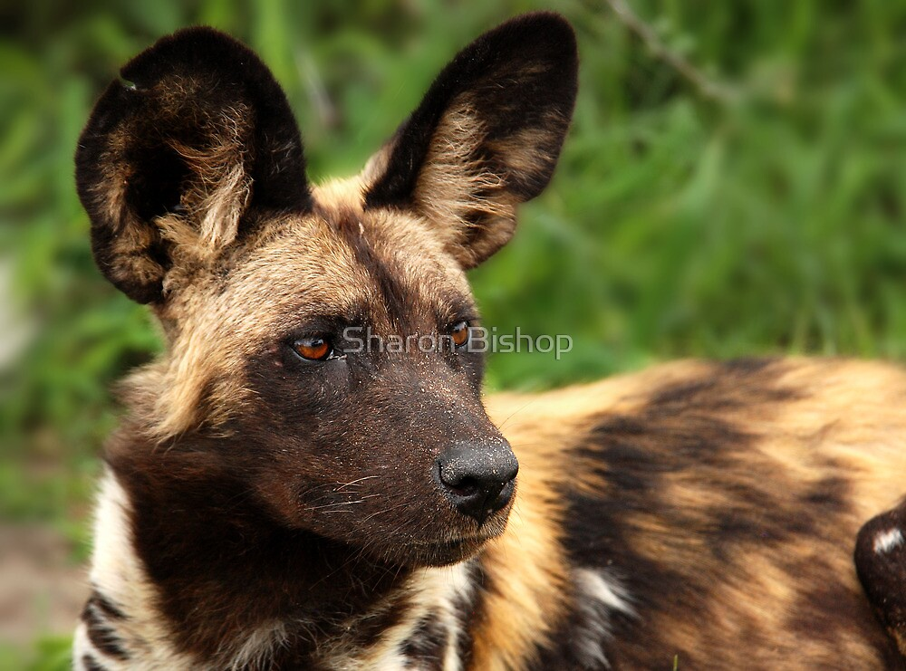 African Painted Wolf  by Sharon Bishop