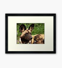 African Painted Wolf  Framed Print