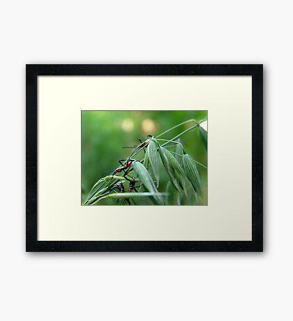 Assassin Bug Nymphs on Oats Framed Print