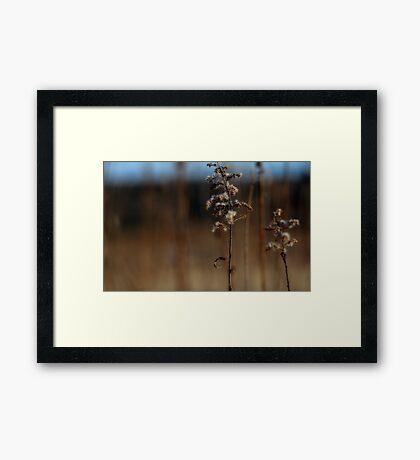 Dried Goldenrod Framed Print