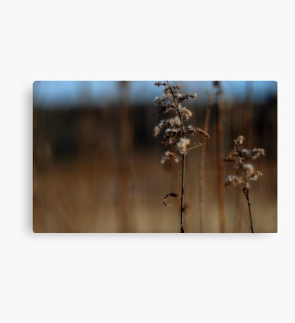 Dried Goldenrod Canvas Print