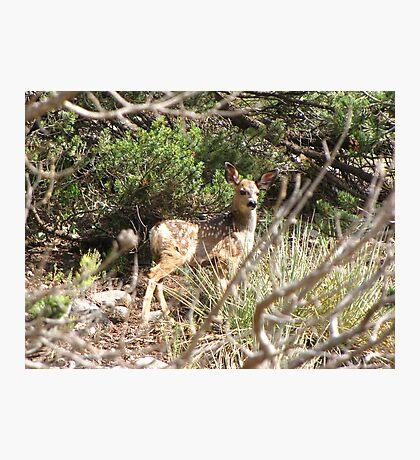 Mule Deer ~ Fawn Photographic Print