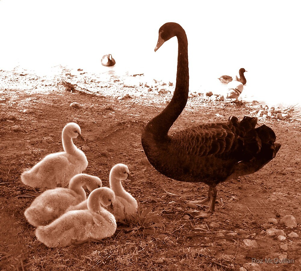 Swan and chicks : photograph by Roz McQuillan