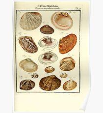 Neues systematisches Conchylien-Cabinet - 339 Poster
