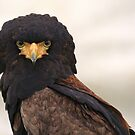 African Bateleur Eagle by Franco De Luca Calce