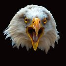 Head of a bald eagle looking directly at the camera by Dave  Knowles