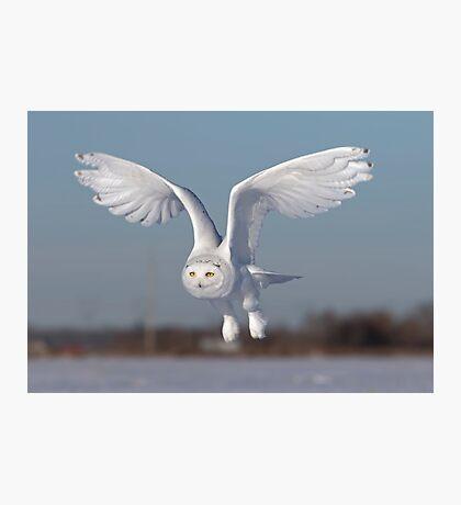 Snowy owl in flight Photographic Print