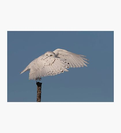 Snowy owl cover up Photographic Print