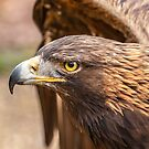 Golden Eagle by Dave  Knowles