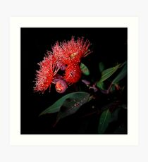 Flowering Gum Art Print