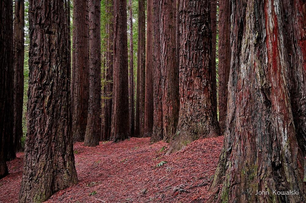 The Redwoods  by John  Kowalski