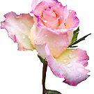 pinke Rose mit den ersten Regentropfen des Tages von rhnaturestyles