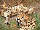 Cheetahs by Veronica Schultz