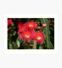 Summer Red eucalypt flowers Art Print