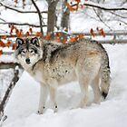 Winter is my season _ Timber Wolf by Poete100